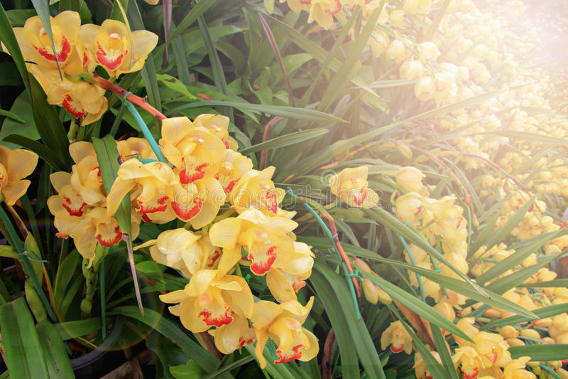 orchid λουλουδιών κίτρινο στοκ εικόνες