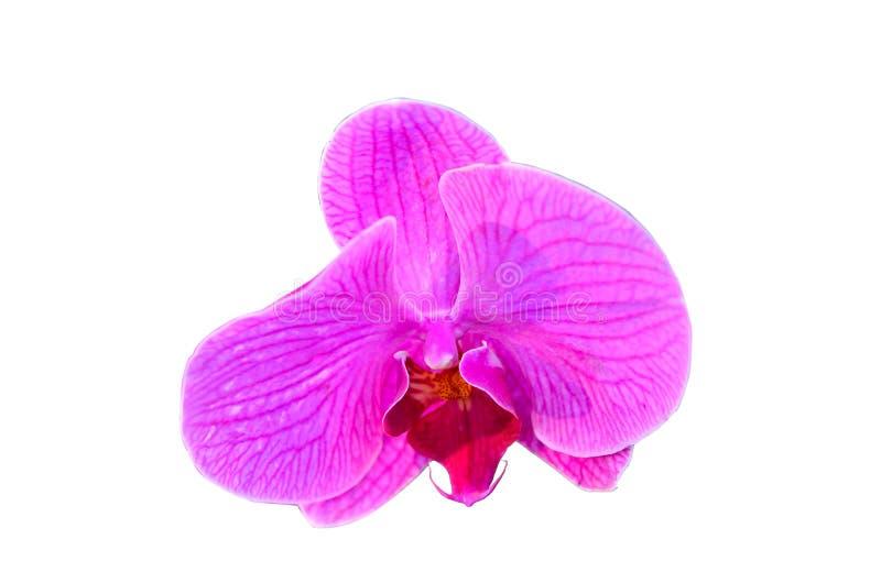 orchid λουλουδιών ροζ απομονωμένος στοκ εικόνες