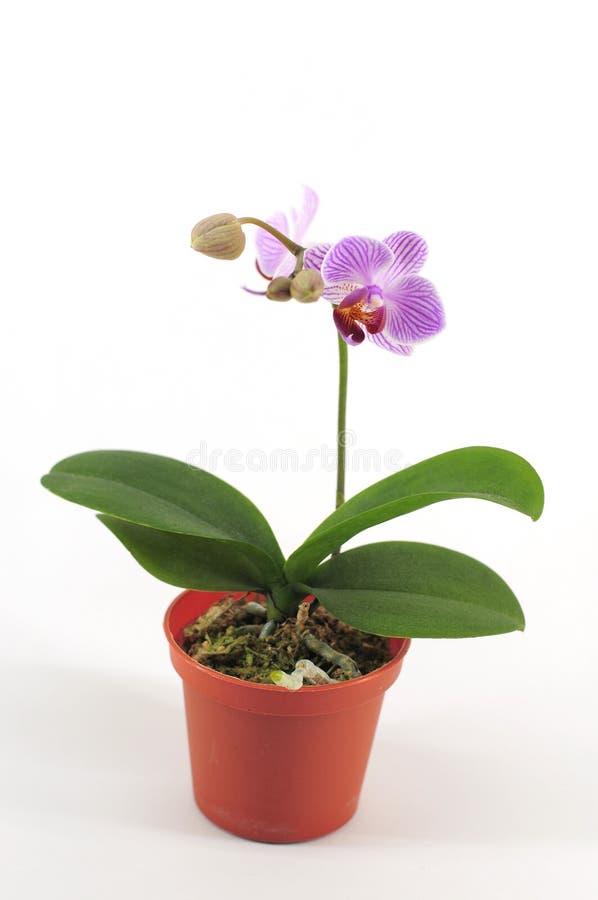 orchid πορφυρός reticular στοκ εικόνες με δικαίωμα ελεύθερης χρήσης