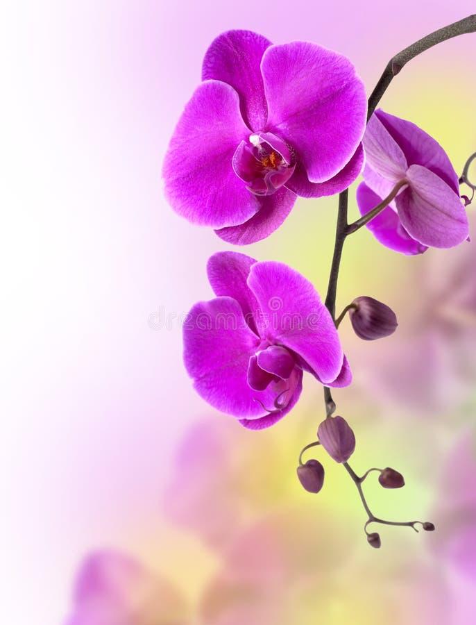 orchid πορφύρα στοκ φωτογραφία
