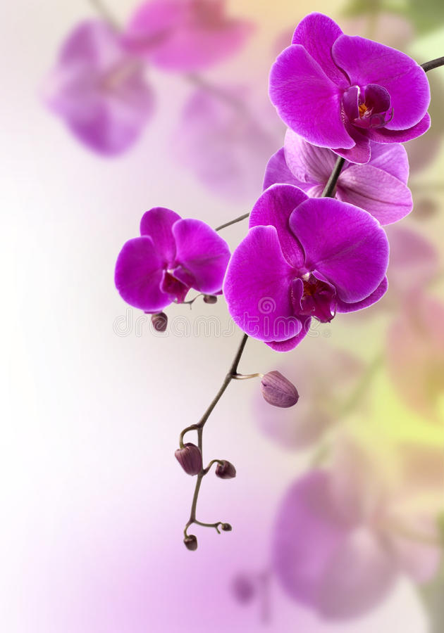 orchid πορφύρα στοκ εικόνα με δικαίωμα ελεύθερης χρήσης