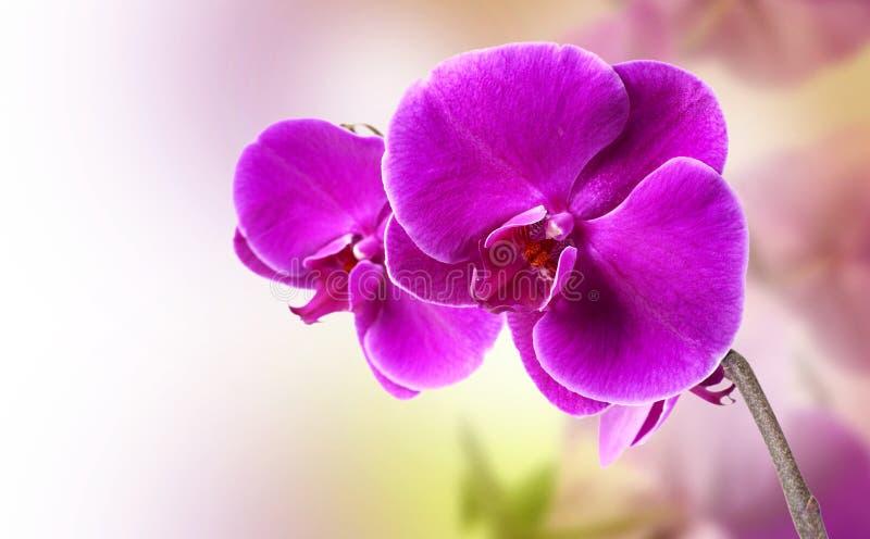 orchid πορφύρα στοκ εικόνες με δικαίωμα ελεύθερης χρήσης