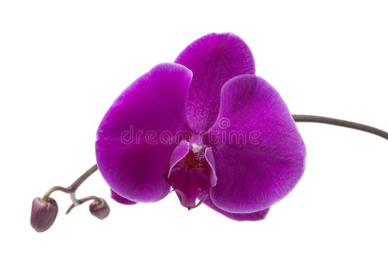 orchid πορφύρα στοκ εικόνες