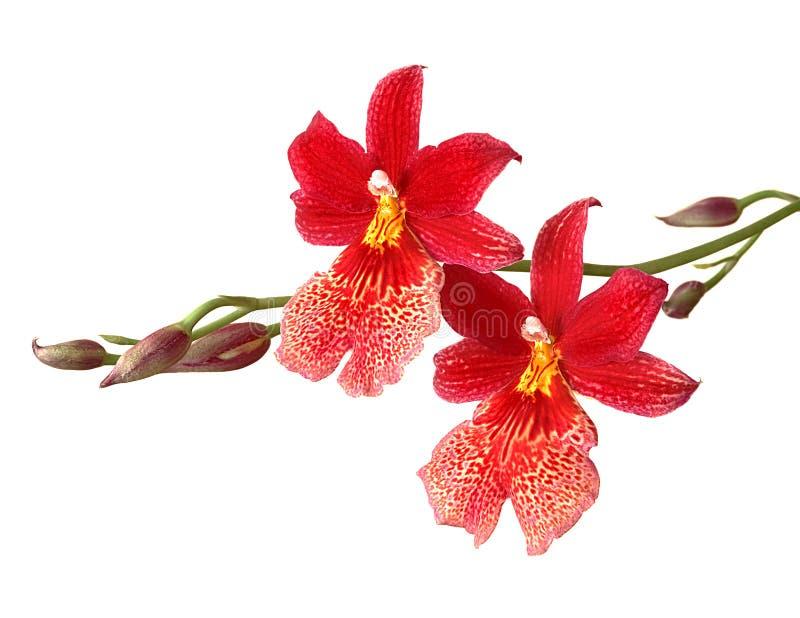 Orchid που απομονώνεται στο λευκό στοκ εικόνες με δικαίωμα ελεύθερης χρήσης