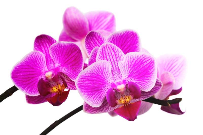 Download Orchid ροζ στοκ εικόνες. εικόνα από κήπος, ανθοδεσμών - 13175458