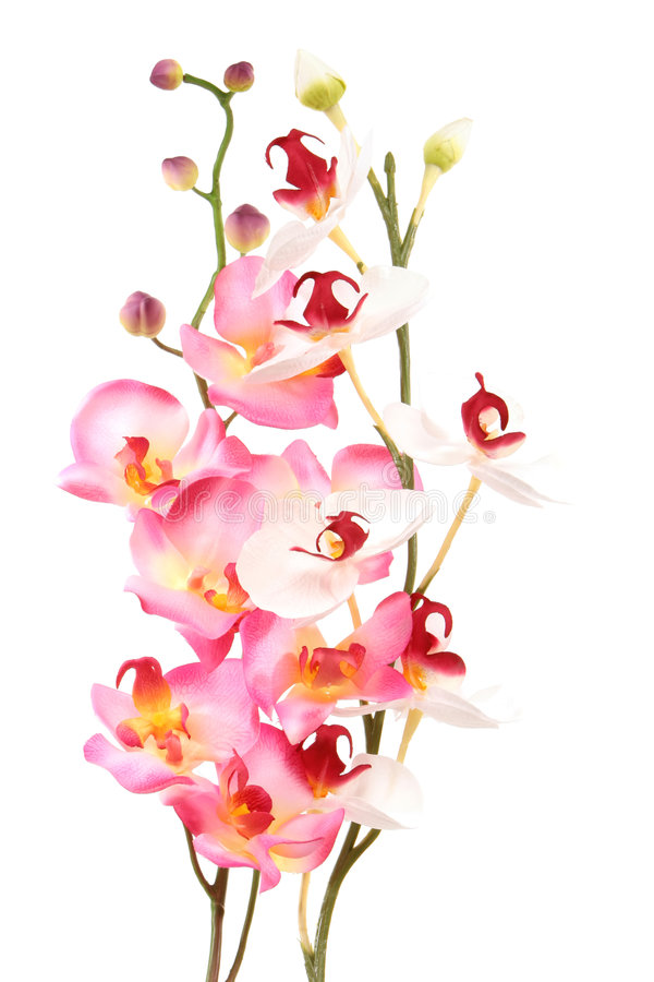 Download Orchid ροζ στοκ εικόνα. εικόνα από φύση, βοτανικό, ρωμανικός - 2229739