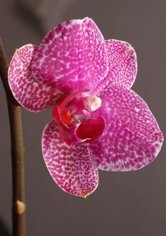 orchid ροζ στοκ εικόνες με δικαίωμα ελεύθερης χρήσης