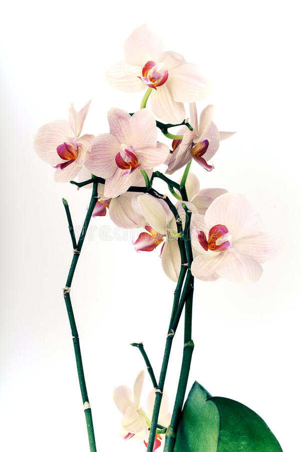 orchid ρόδινο λευκό στοκ φωτογραφία με δικαίωμα ελεύθερης χρήσης