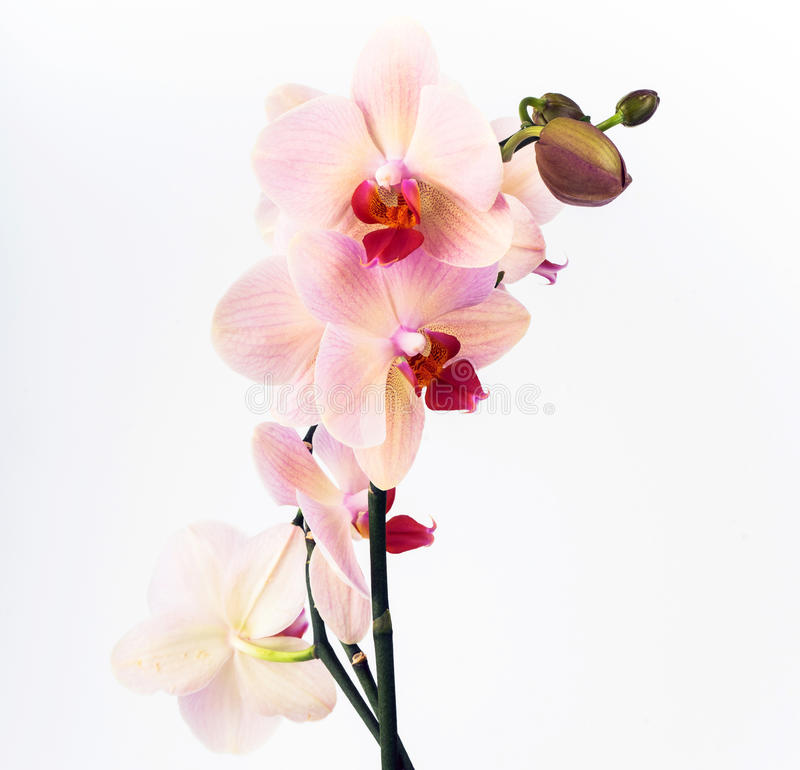 orchid ρόδινο λευκό στοκ εικόνες