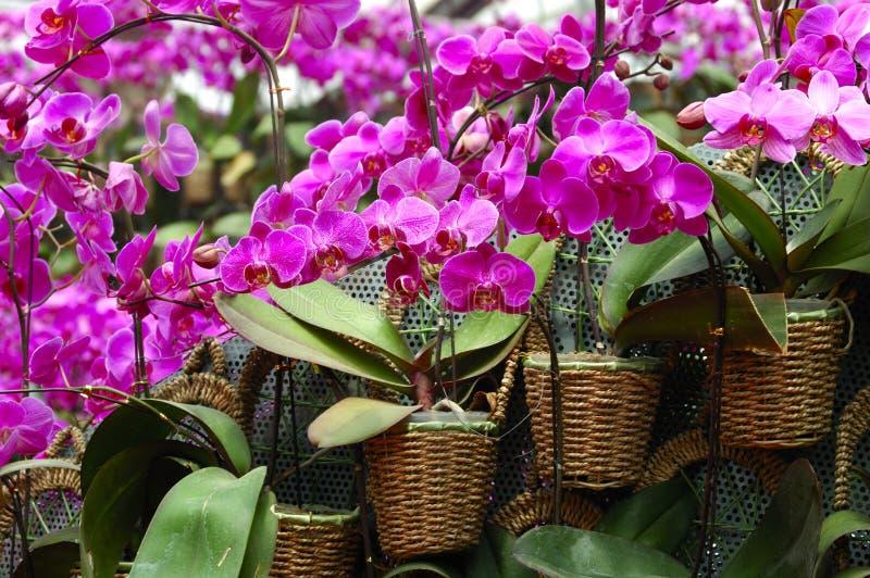 orchid σκώρων στοκ εικόνες