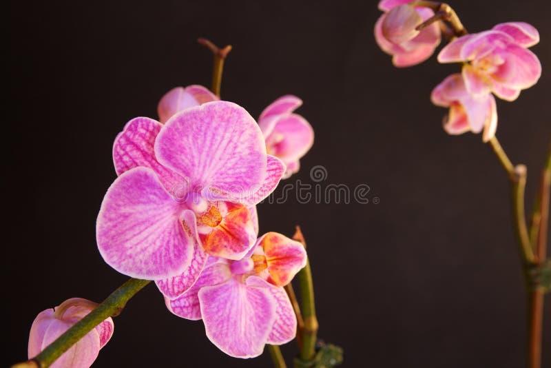 orchid σκώρων phalaenopsis orchidaceae στοκ εικόνες