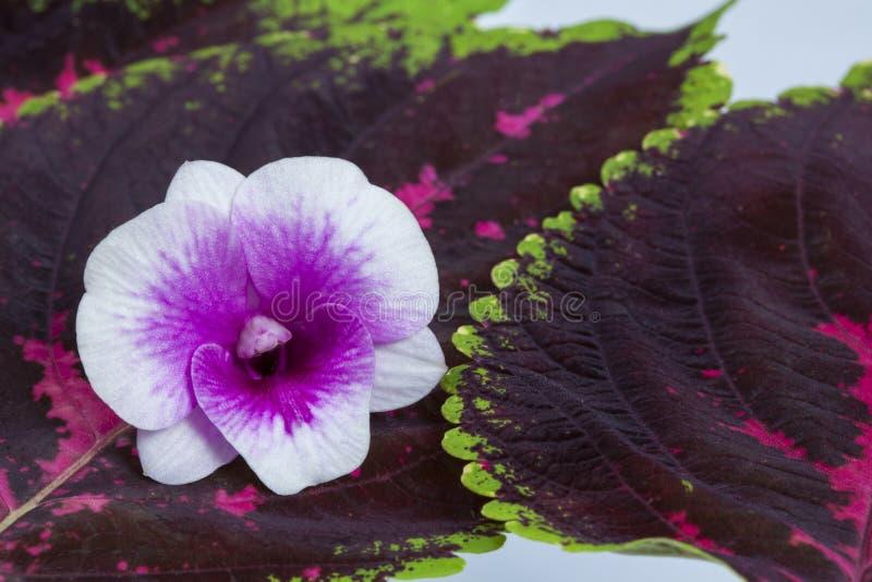 orchid φύλλων απομόνωσης λουλουδιών λευκό στοκ φωτογραφίες με δικαίωμα ελεύθερης χρήσης