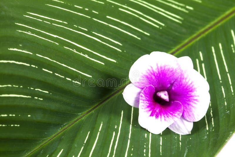 orchid φύλλων απομόνωσης λουλουδιών λευκό στοκ φωτογραφία με δικαίωμα ελεύθερης χρήσης