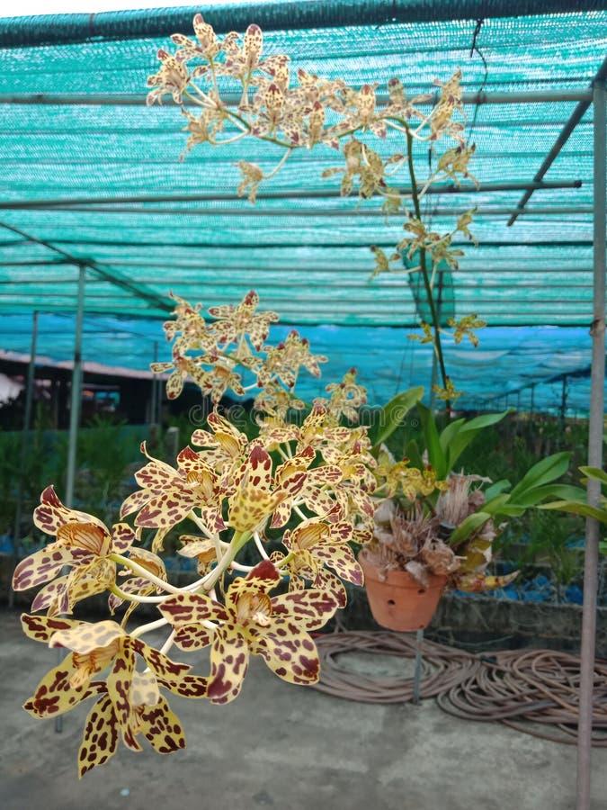 Orchid1,如果我们听见这朵兰花 感受恐惧与名字的多数 样式类似于那老虎 免版税库存照片