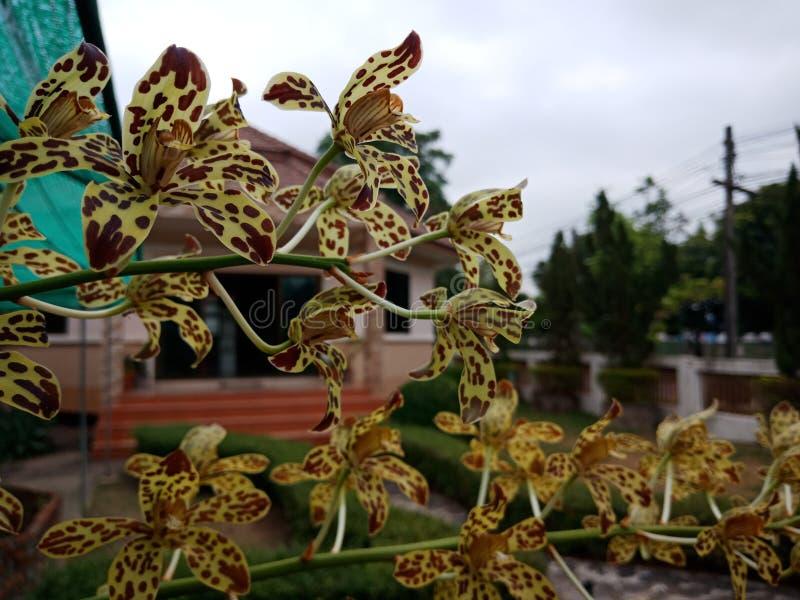 Orchid5,如果我们听见这朵兰花 感受恐惧与名字的多数 样式类似于那老虎 免版税库存图片