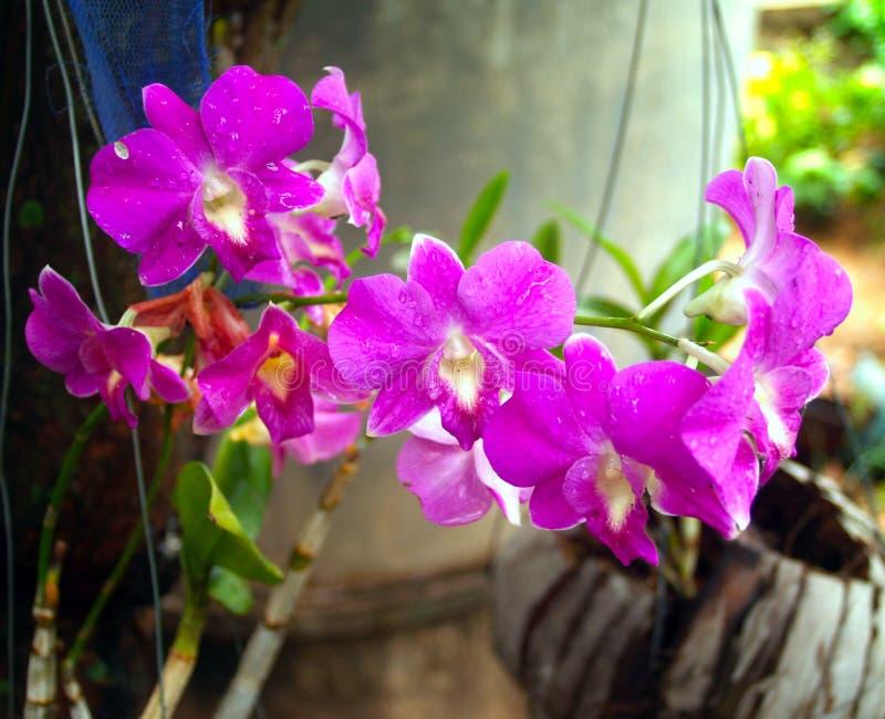 orchid 04 στοκ εικόνα με δικαίωμα ελεύθερης χρήσης