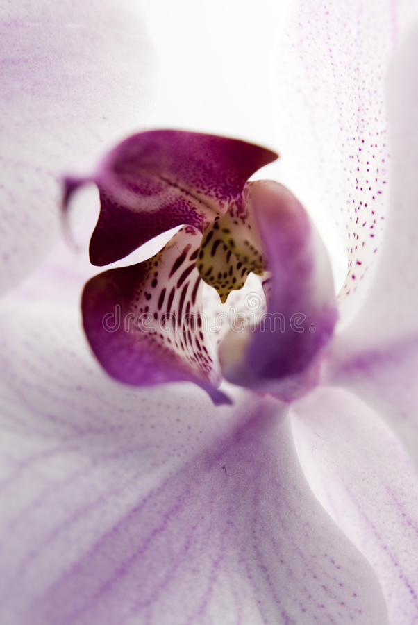Orchid. Close-up of a white orchid with pink spots
