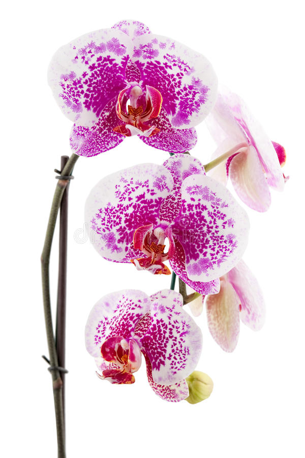Download Orchid stock photo. Image of decoration, bouquet, plant - 12106434