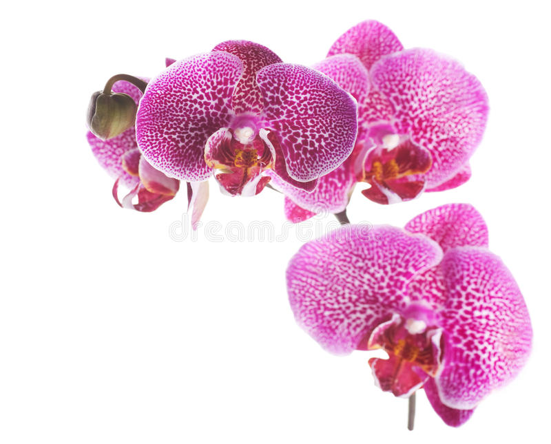 Orchid. Beautiful Orchid border over white background stock photo