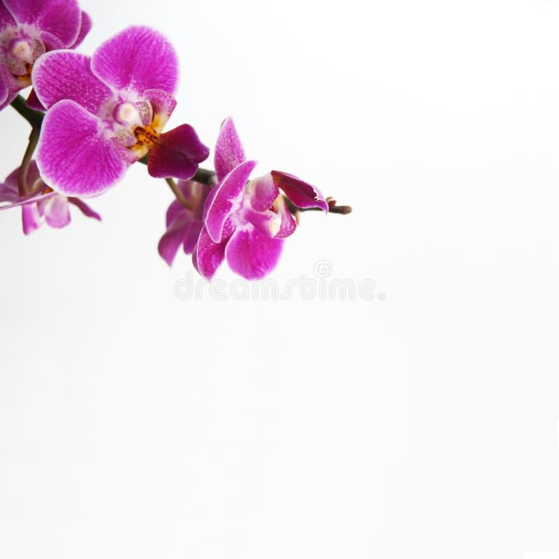 orchid στοκ εικόνες