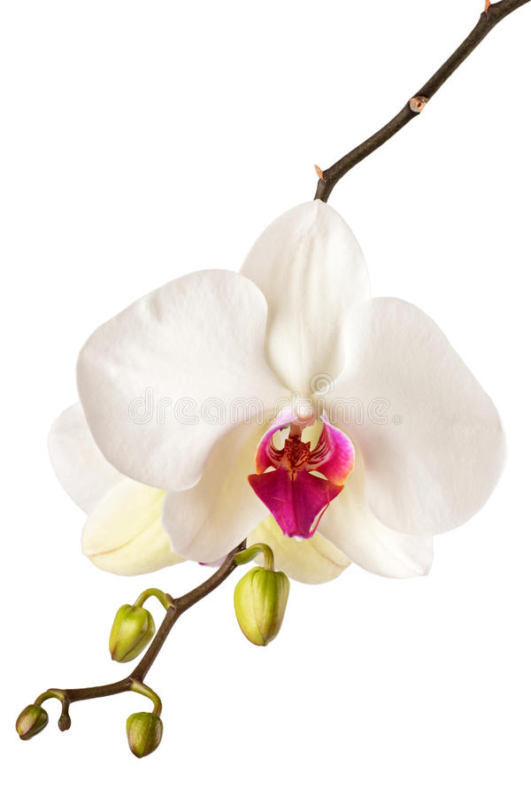 Orchid. Blossoming orchid phalaenopsis, isolated on white background stock photography