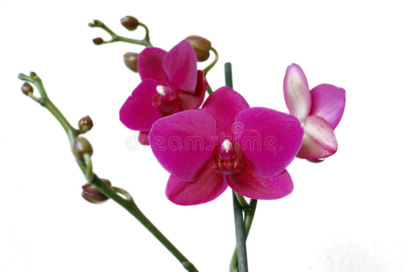 Orchid. Beautiful purple orchid isolated on white background royalty free stock photography