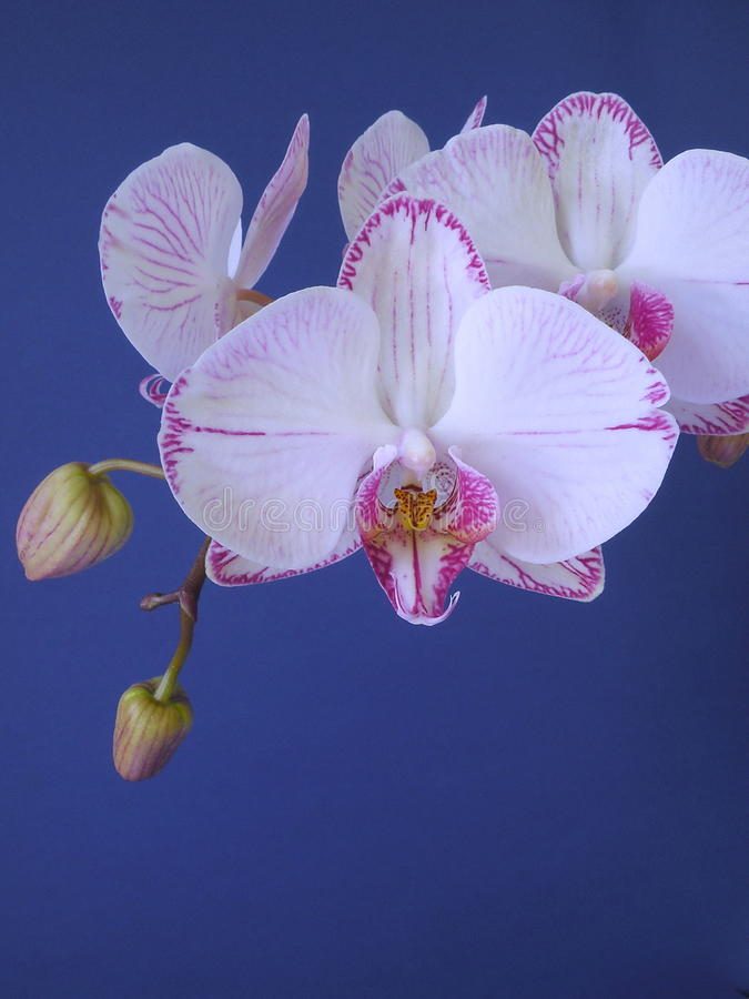 Download Orchid stock photo. Image of white, pink, orchid, flower - 13712098
