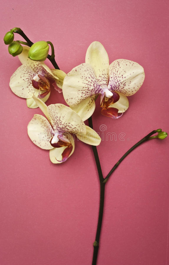Download Orchid stock photo. Image of pink, flower, beautiful - 14110536
