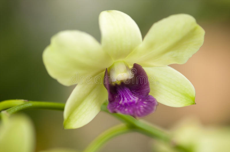 Orchid. Close up on orchid flower stock image