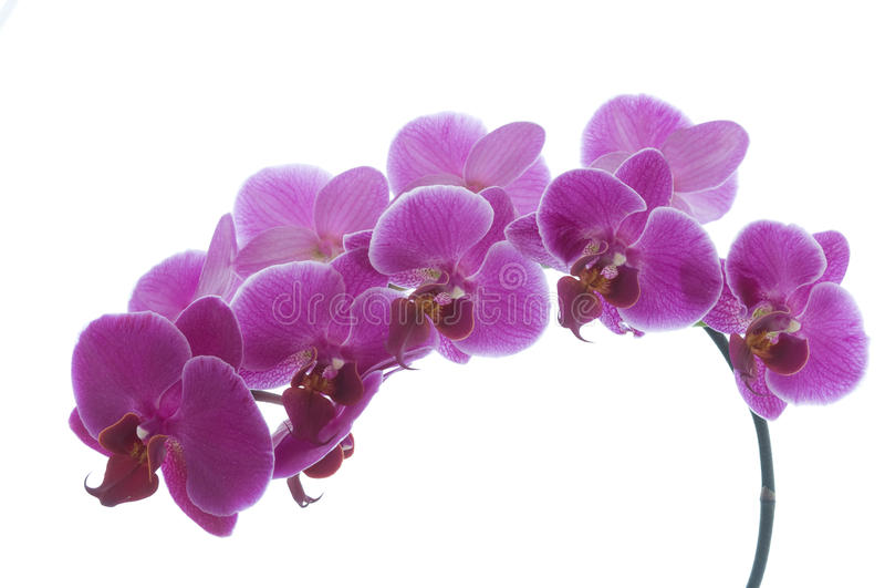 Orchid. Purple orchid isolated on white background stock photography