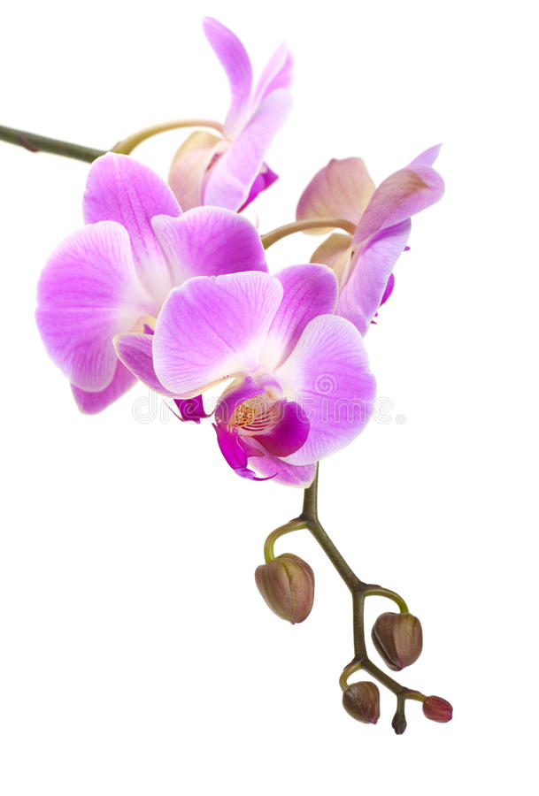 Orchid. On a white background stock images