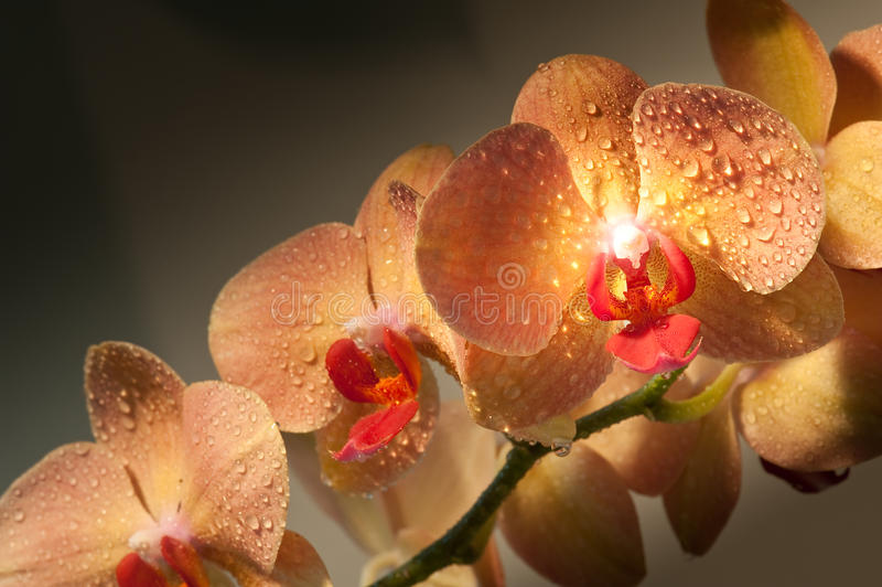 Orchid. Close-up of orchid flowers with water droplets stock image