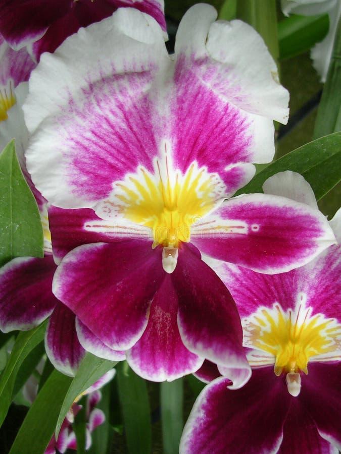 Download Orchid 2 arkivfoto. Bild av trädgård, vitt, orchid, kulan - 519870