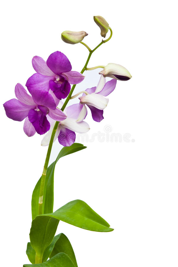 Download Orchid stock photo. Image of pink, petal, decorative - 20807852