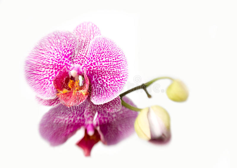 Download Orchid stock photo. Image of purplish, flower, tropical - 24202594
