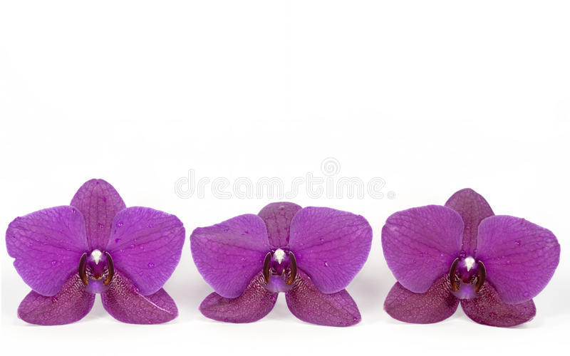Download Orchid stock image. Image of flower, floral, threesome - 24367189