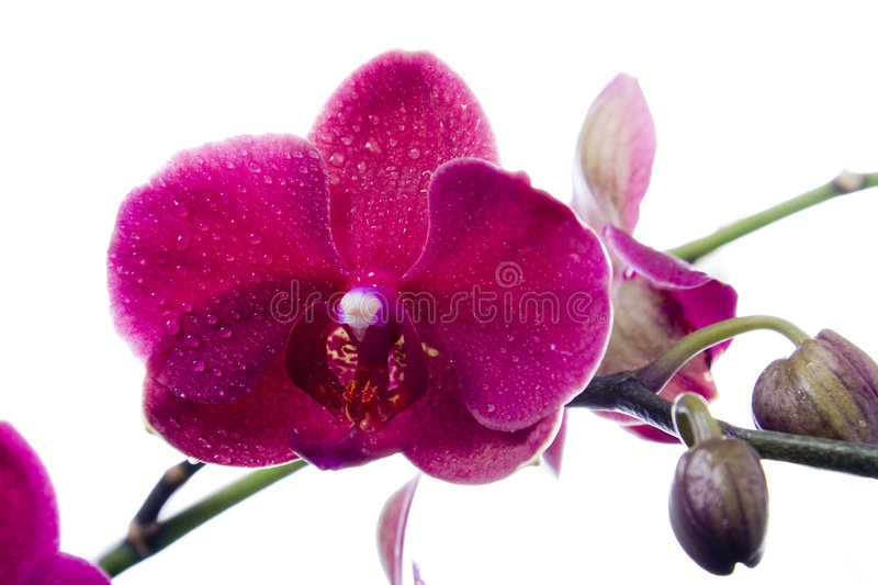 Download Orchid stock image. Image of petals, orchid, buds, beautiful - 2564053
