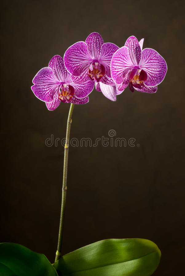 Download Orchid stock image. Image of beauty, nobody, orchis, mauve - 25777531
