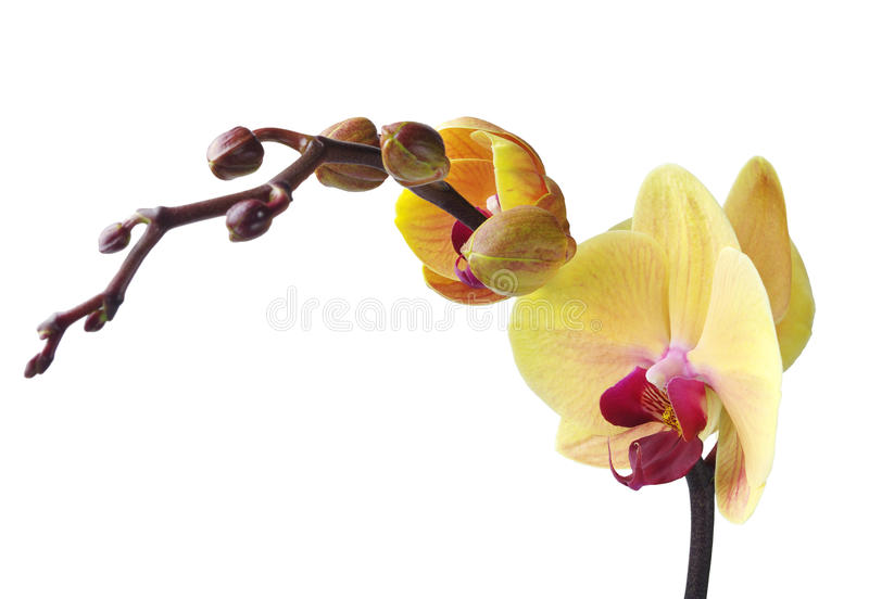 Download Orchid stock image. Image of beauty, petal, fragrant - 27015743