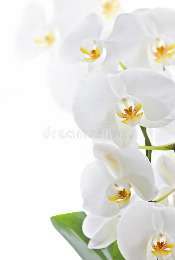 Orchid. White orchid isolated on white background, copy space stock images