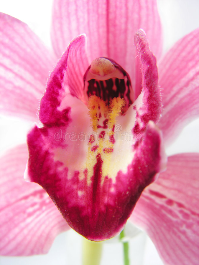 Free Orchid 3 Royalty Free Stock Photos - 526328