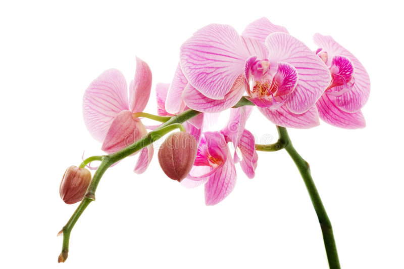 Orchid. On a white background royalty free stock images