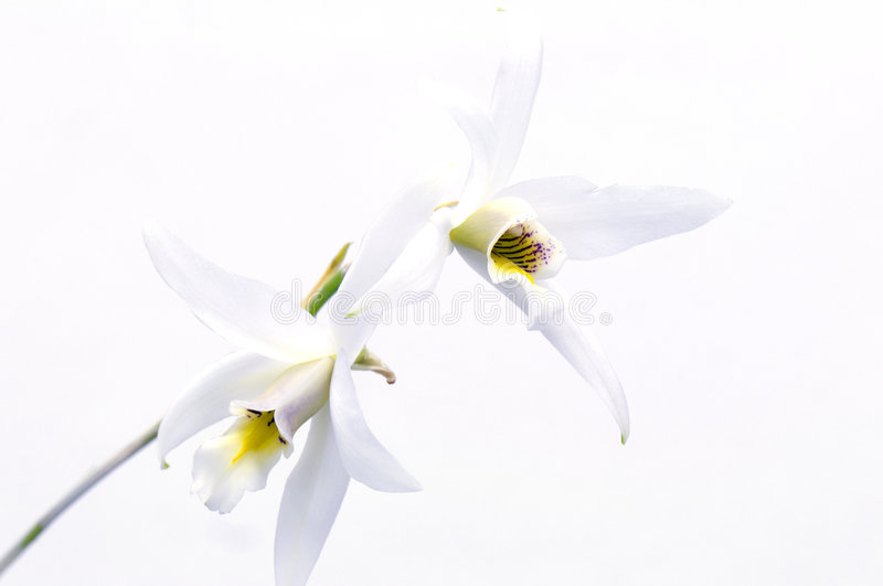 Orchid. On a white background royalty free stock image