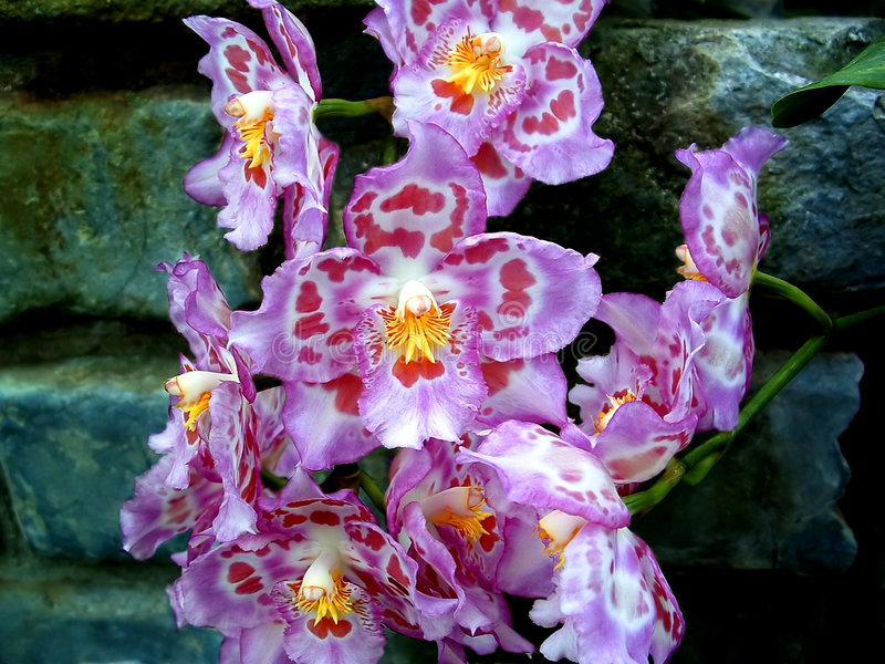 Download Orchid 5 stock photo. Image of mauve, yellow, garden, stone - 654458