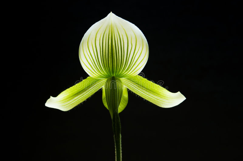orchid fotografering för bildbyråer