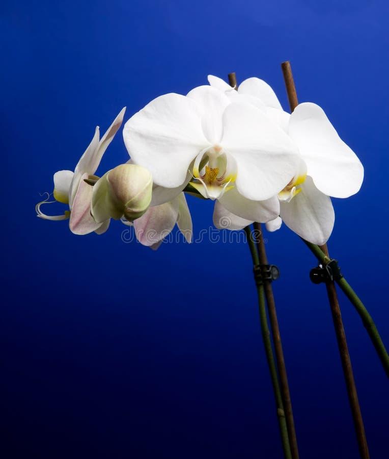 orchid royaltyfria foton