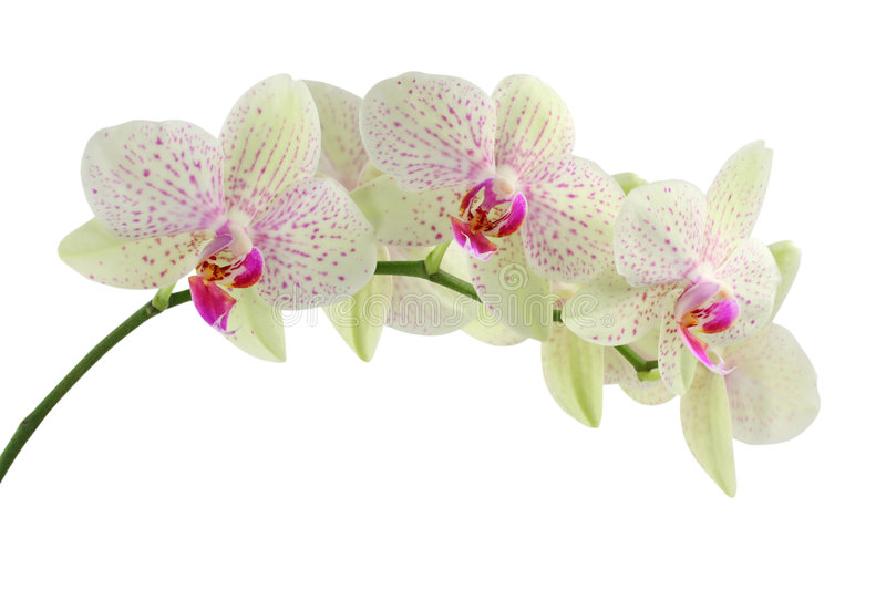 Orchid. Isolated on white background stock images