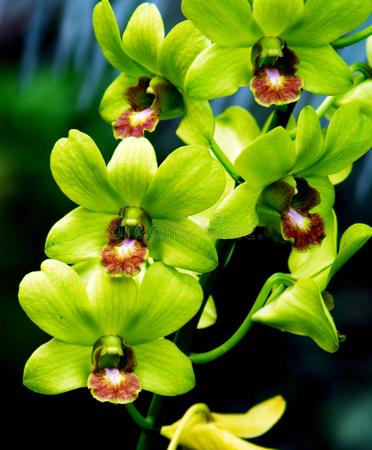 Free Orchid Royalty Free Stock Photos - 7532408
