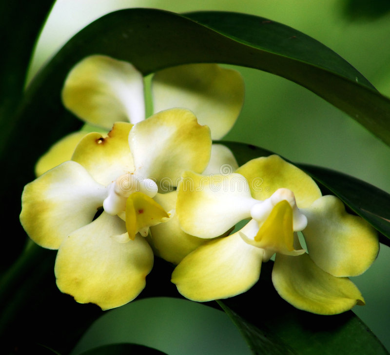 Free Orchid Royalty Free Stock Photo - 7532505