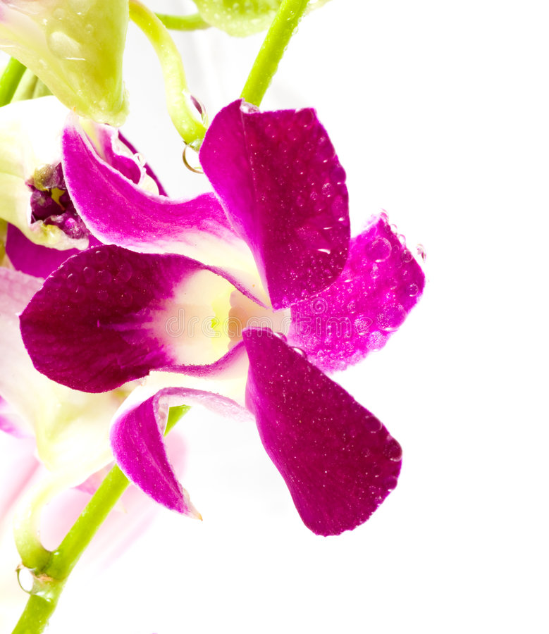 Orchid. Beautiful violet flowers of an orchid stock image